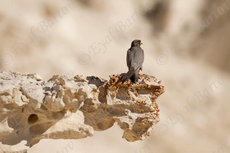 10. Sooty Falcon (Falco concolor) - בז שחור