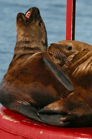 Seals | Sea Lions