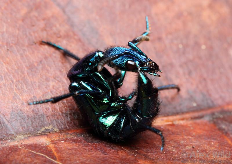 Plochionocerus