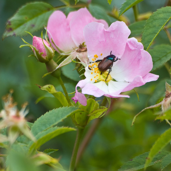 Wild Rose mealtime 4 x 4 8670.jpg