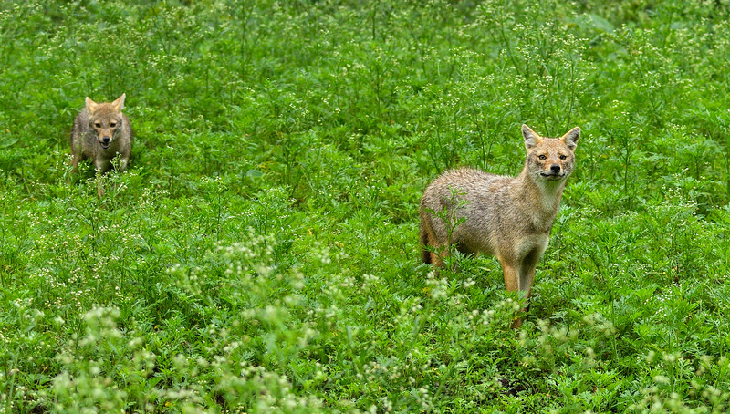 Jackals-and-monsoon-green-kabini.jpg