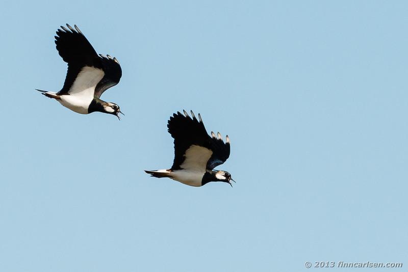 Vibe (Lapwing - Vanellus vanellus)
