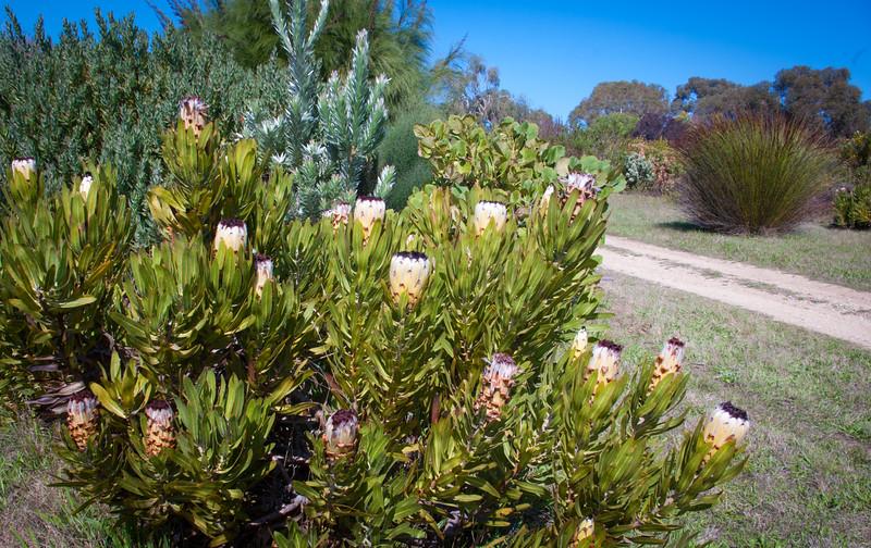 Protea neriifolia 'Green September'