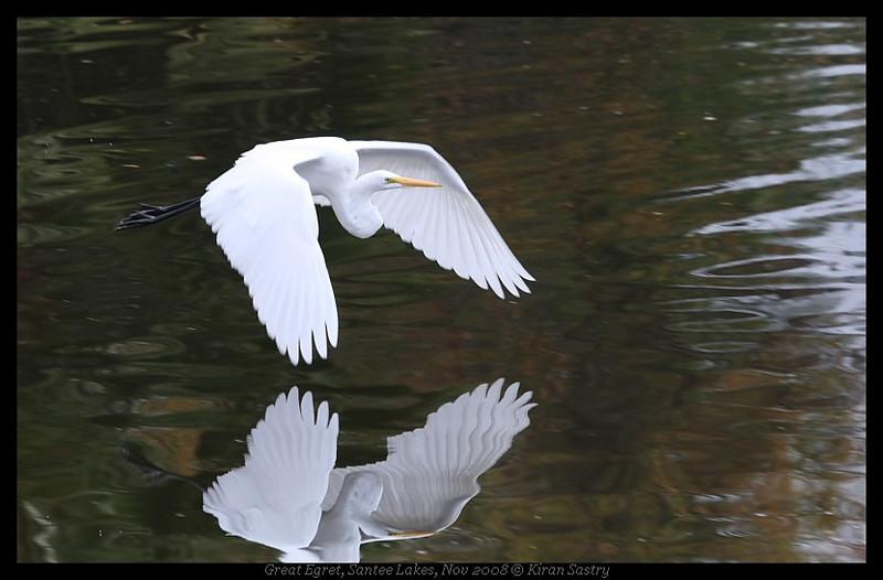 Great Egret, Santee Lakes, San Diego County, California, November 2008