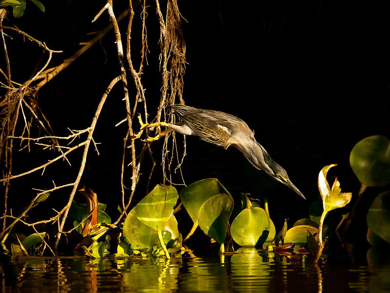 STRIATED HERON DIVE 24 X 18-2.jpg