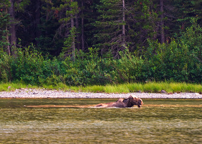 Many Glacier GNP Moose 08-2018