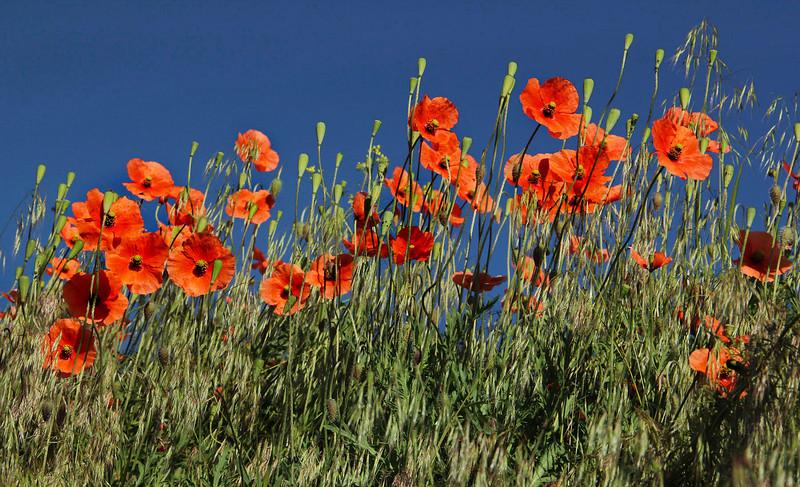 Red poppies, Washington, horizontal