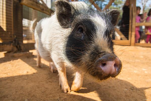 Juliana Pig, Winston, comes to Houston Zoo-2014