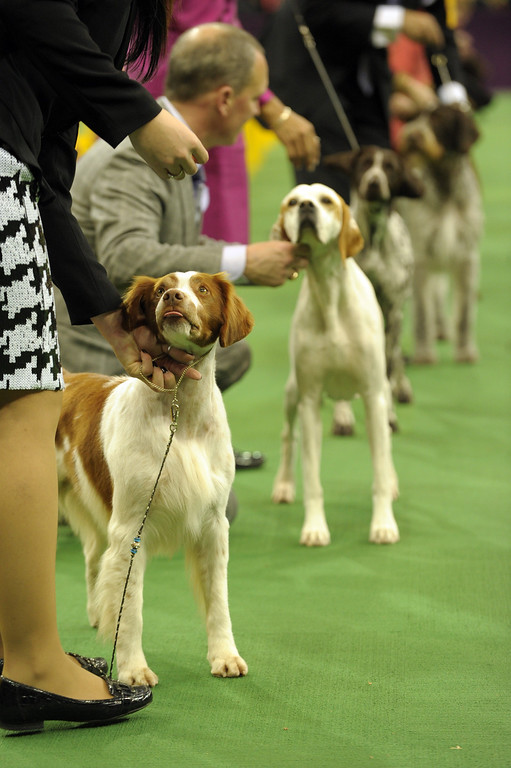 . Sporting Group dogs line up for judging during the Westminster Kennel Club Dog Show February 12, 2013 at Madison Square Garden in New York.  STAN HONDA/AFP/Getty Images