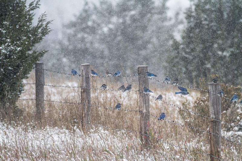 Mountain Bluebird flock on barbed wire fence in snow Theodore Roosevelt National Park Medora ND -1824.jpg
