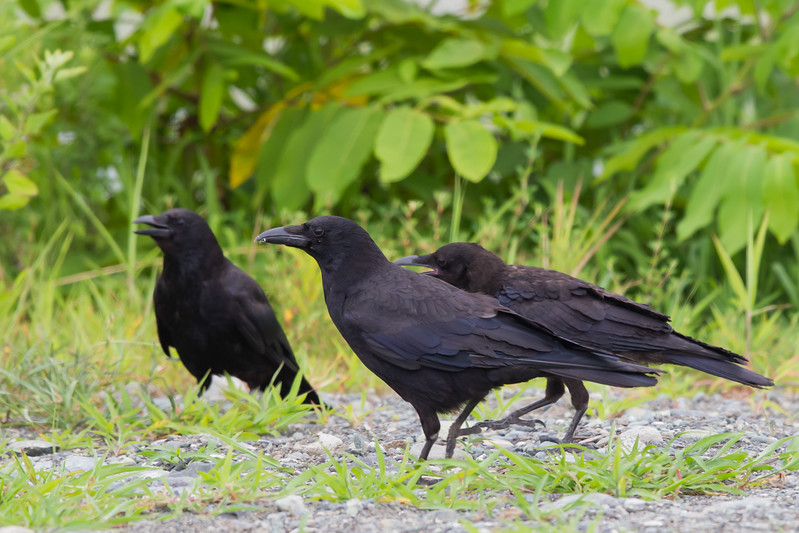 Carrion Crow family - Kanagawa Prefecure, Japan