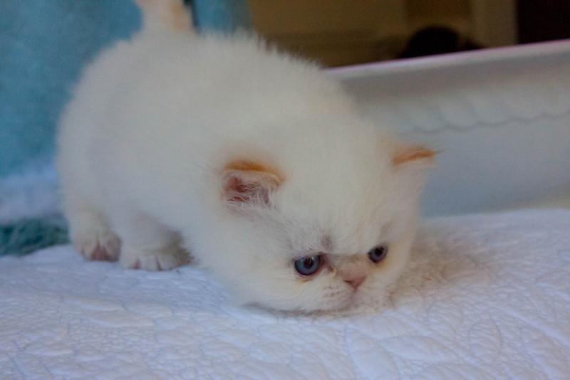 Himi_Kittens_Nov30-8058.jpg