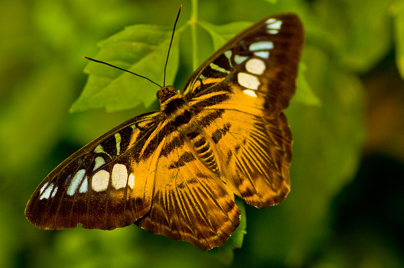 A large butterfly rests his weary wings on this leaf.