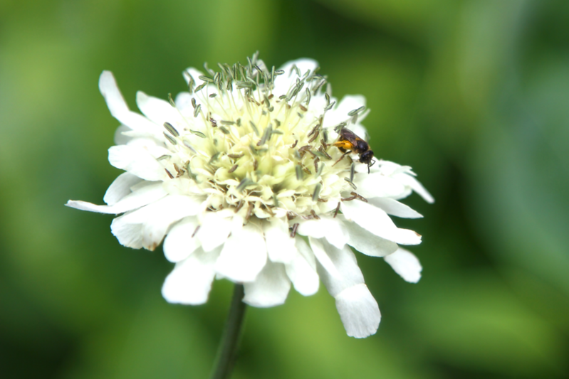 Happy bee on a scabiosa flower