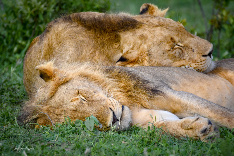 2 young male lions.jpg