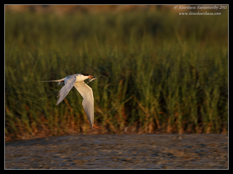 Forster's Tern with feed, Robb Field, San Diego River, San Diego County, California, July 2011