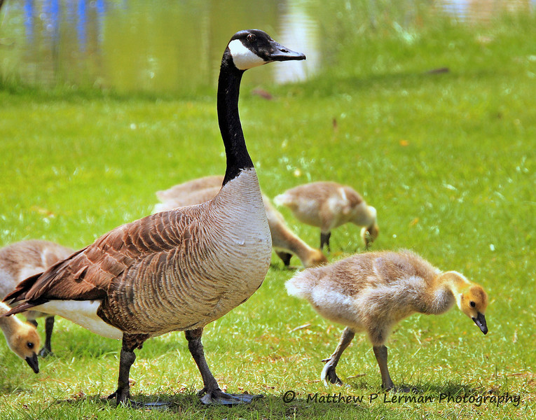 315 Canada Goose with chicks.jpg