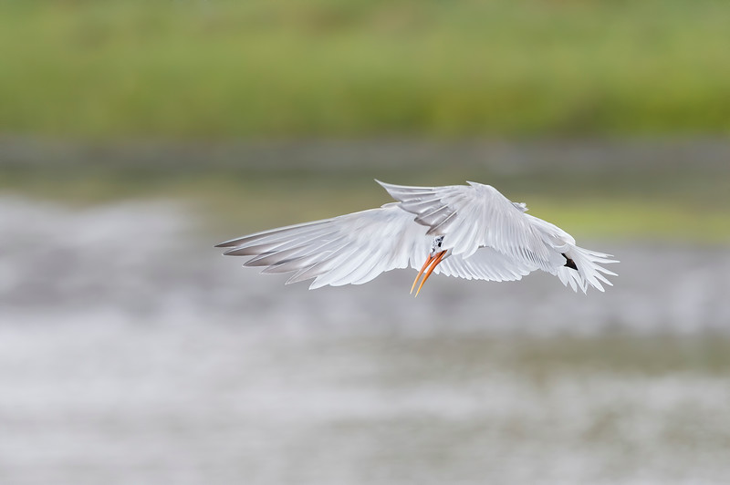 Elegant Tern.jpg