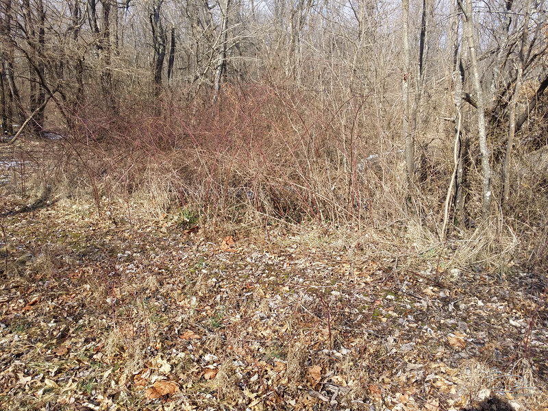 From this angle you can't see the multiflora rose lurking behind all these nice blackberry stalks.  The fallen willow tree still has a few more feet to fall.