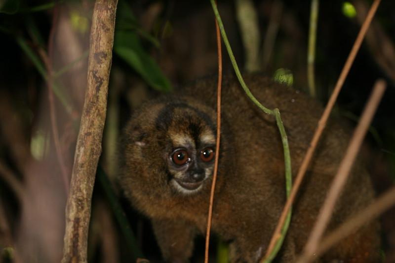 2006-02-21-0017-Thompson Family Adventures trip to Panama with Hahns-Day 4-Bocas del Toro, Salt Creek-Night Monkey.jpg