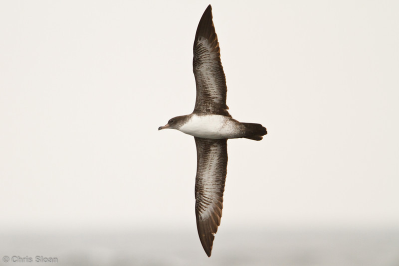 Pink-footed Shearwater at pelagic out of Bodega Bay, CA (10-15-2011) - 771.jpg