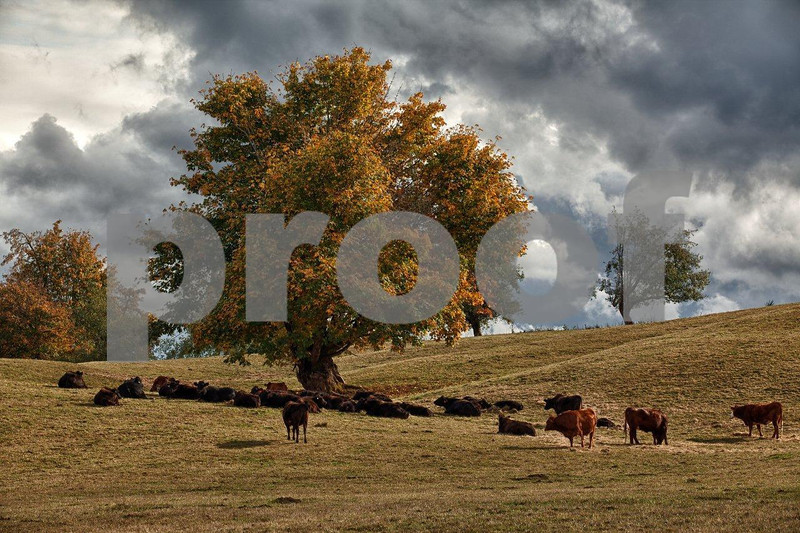 Cattle & maple tree 2461_HDR.jpg
