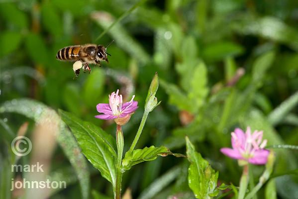 Bees and Wasps - Hymenoptera