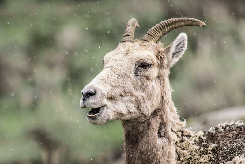 Bighorn ewe Yellowstone National Park WY DSC04896.jpg