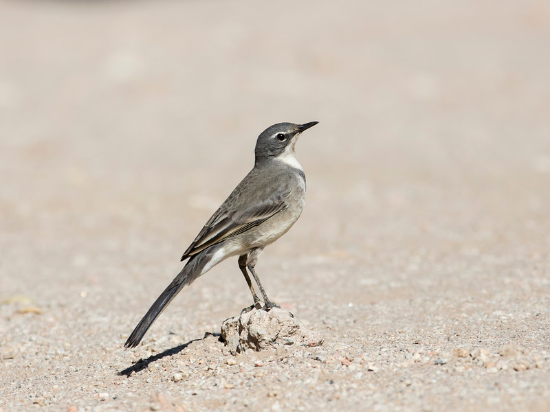 Cape Wagtail