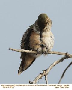 Rufous Hummingbird F29391.jpg