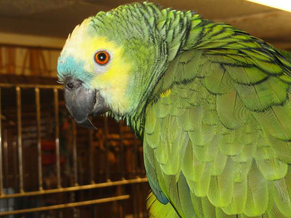 """Escaped Amazon Parrot """"Pookie"""" was Reunited with his Owner ( 4 Day Rescue)"""
