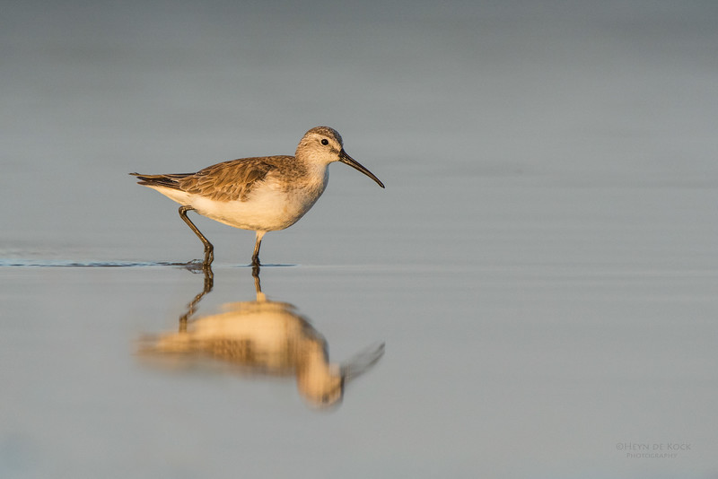 Curlew Sandpiper, Lake Wollumboola, NSW, Nov 2014.jpg