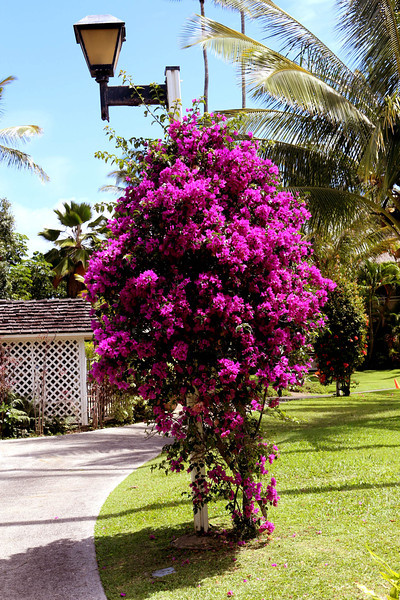 Blooming bougainvillea on the grounds of a nearby resort.