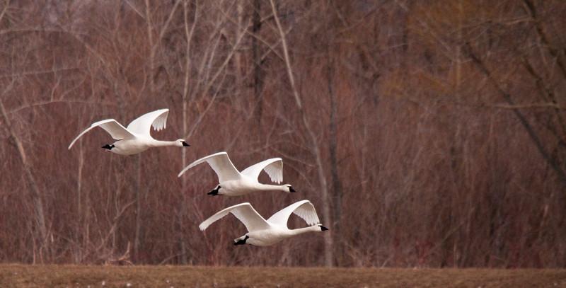 2011 swan migration aylmer (33 of 51).jpg