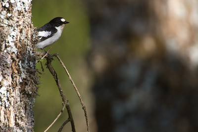 Atlas Flycatcher (Ficedula speculigera)
