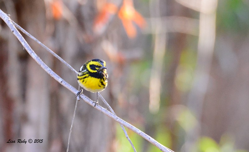 Townsend's Warbler - 2/15/15 - Nestor Park
