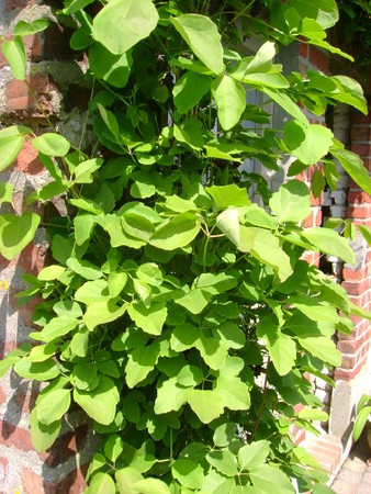 Akebia quinata in blad .jpg
