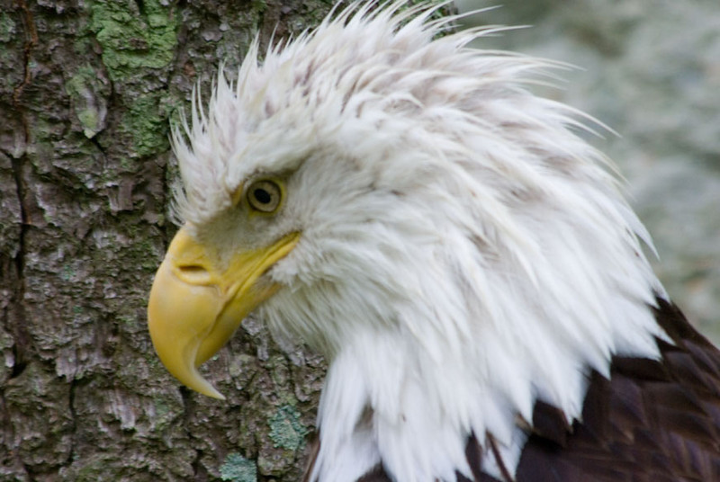 Eagle looking down2.jpg