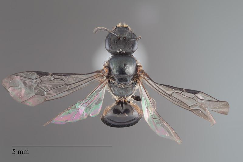 Homalictus achrostus female