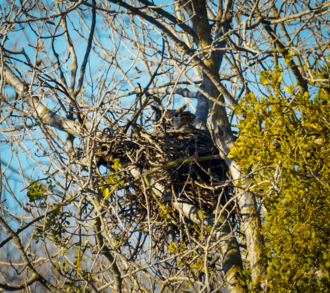 Nest Two, Great-horned Owl