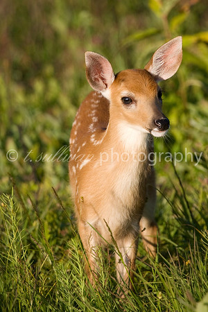 Portrait of a young fawn. Big Meadows, Shenandoah National Park.