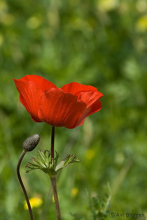 Israel's wilde flowers