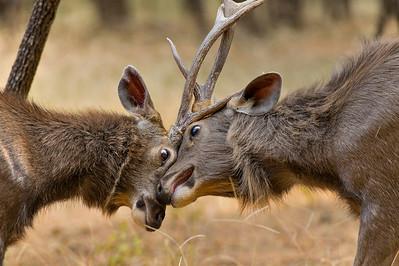 Sparring Sambar deer