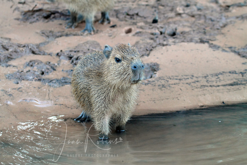 This baby Capybara was very curious about our boat!