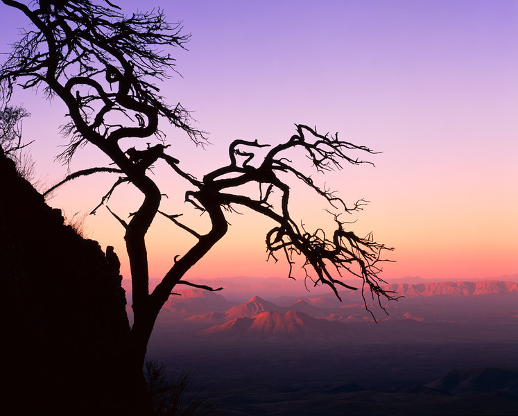 "Sierra del Carmen, Coahuila, Mexico / Contorted wind blown Mexican pinyon pine, Pinus cembroides, silhouetted in sunrise light from this ""Sky-Island"" range 1105H13"