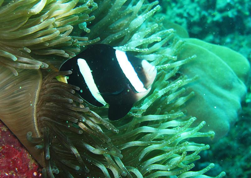 IMG_7419Ar_Clark's anemonefish (Amphiprion clarkii).JPG