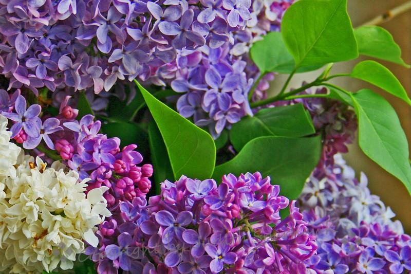 Lilac Time.jpg