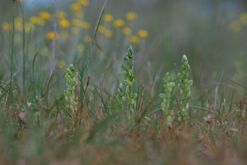 Pterostylis agrestis ? - Sutton Grange Orchid - Parwan