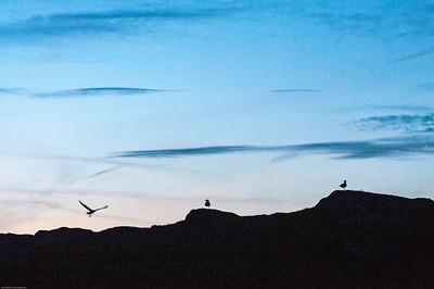 Sea Birds Skokholm