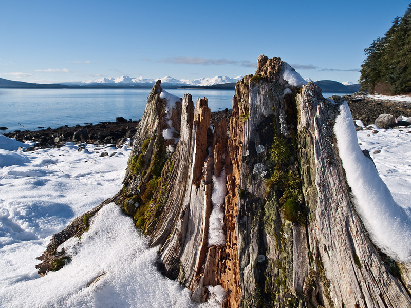 A winter stump basks in some sun near Point Louisa, Auke Bay. The Chilkat Range can be seen in the background. February 14th, 2009.